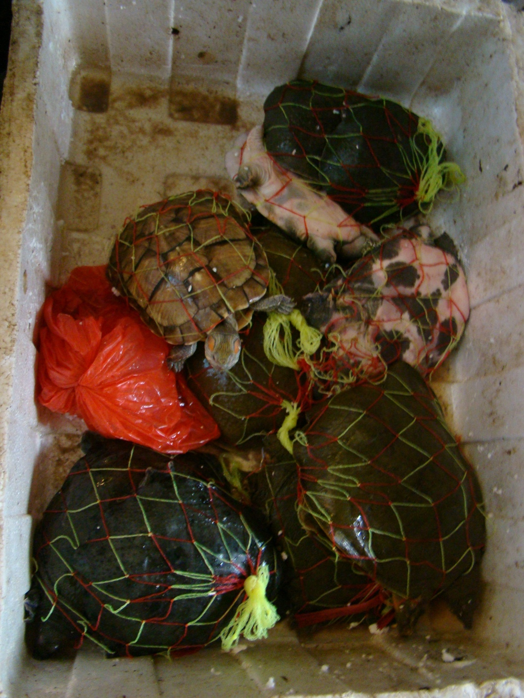Live Turtles Packaged and ready for sale