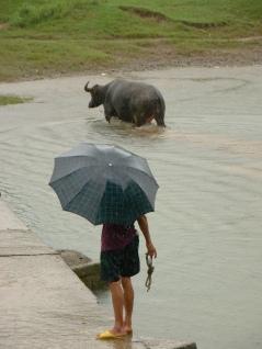 Water-buffalo taking a bath