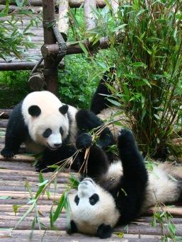 Giant Pandas!!!