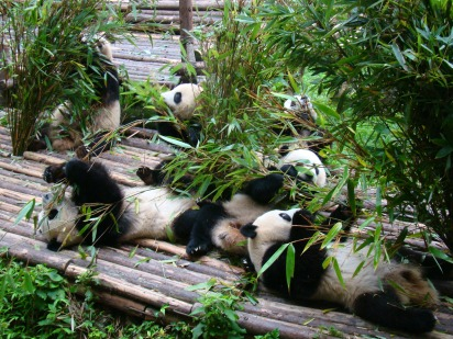 The Giant Pandas enjoying their bamboo breakfast