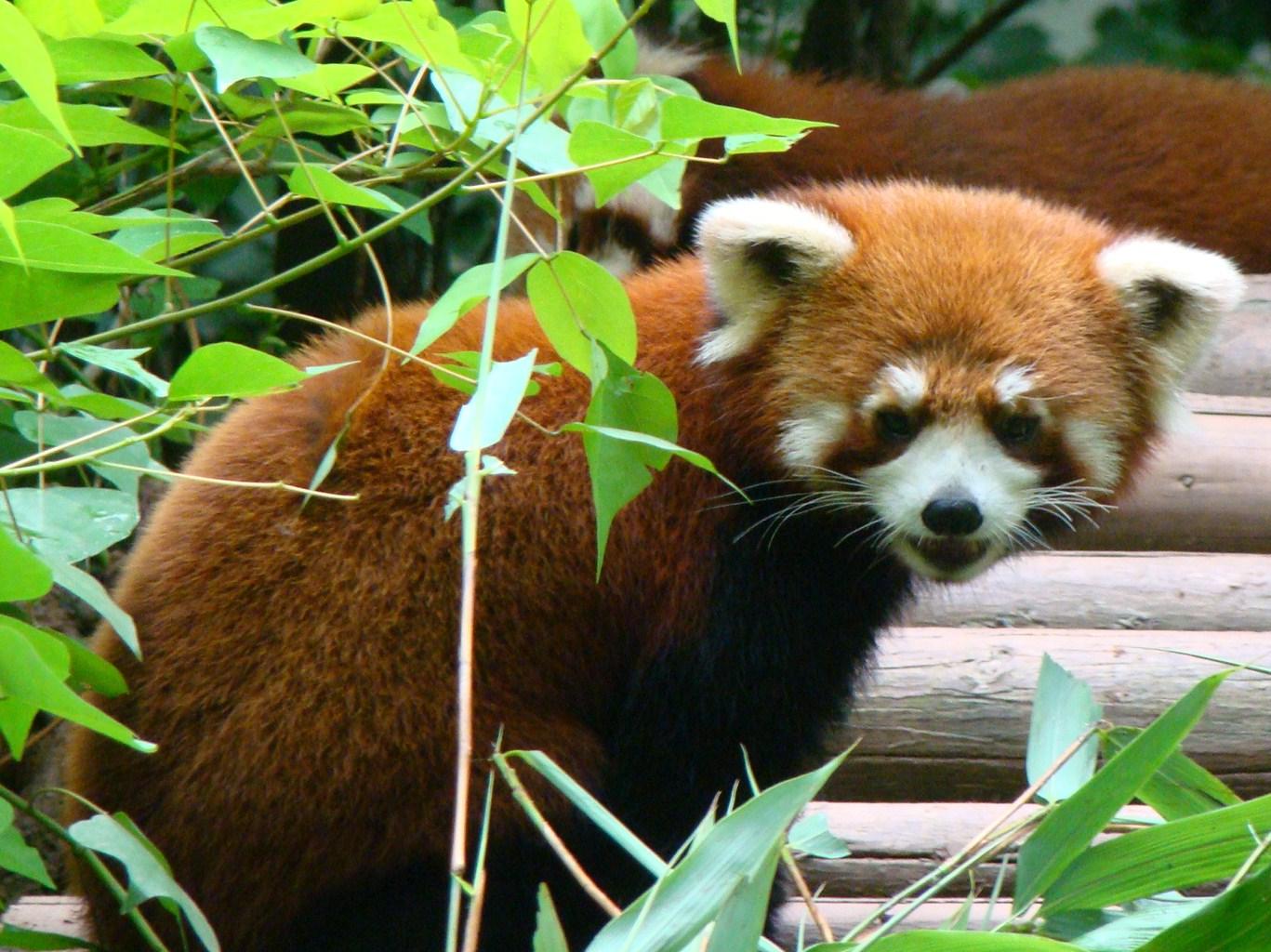 Up close with Giant Pandas