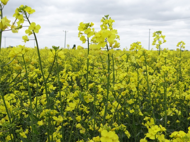 The rapeseed fields of Cambridgeshire, England.