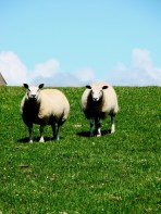 Welsh staring sheep