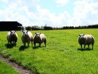 Welsh staring sheep