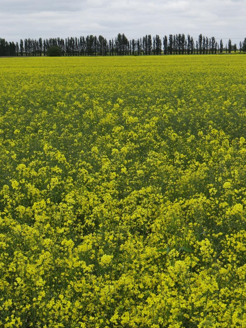 Rapeseed Flowers of England