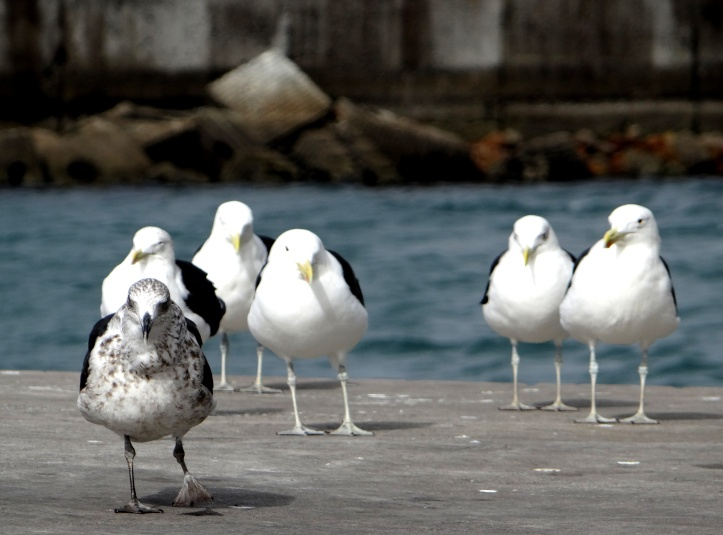 Contrasting Seagulls in Hout Bay, South-Africa