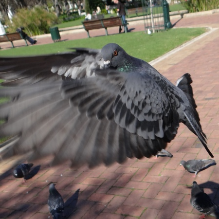 Feeding the Pigeons of Cape Town