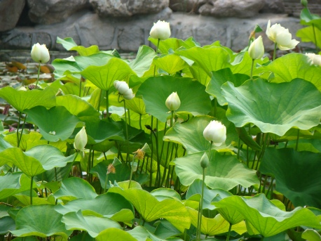 Lotus Park in the south of Xian