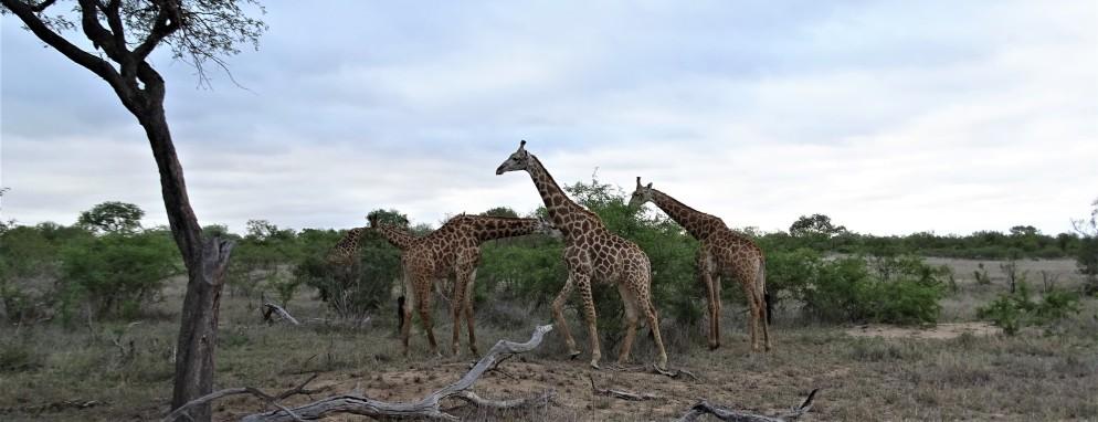 Giraffes at Shindzela Safari Lodge
