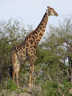 Giraffes at Shindzela Safari Lodge