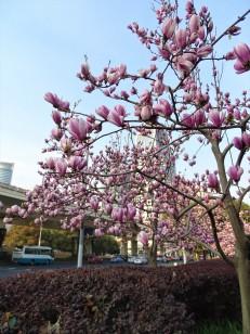 Magnolia Blossoms in Shanghai