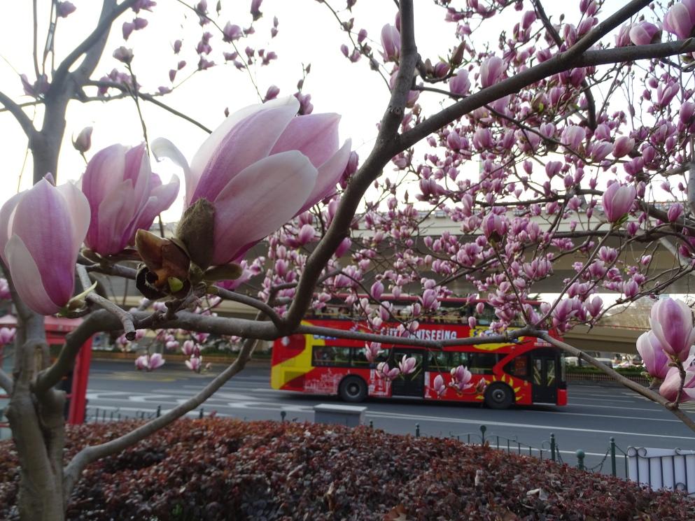 Beautiful Magnolia blossoms in Shanghai