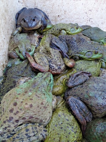 Frogs all piled up and ready to be picked out by hungry shoppers